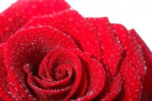 kroonblad--bloemblaadjes-van-bloem--rozen--rode-rozen_379579